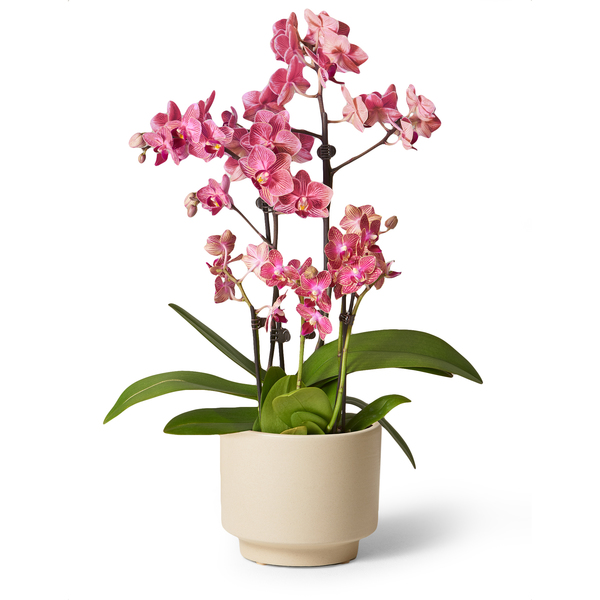 The Sill Fuchsia Orchid